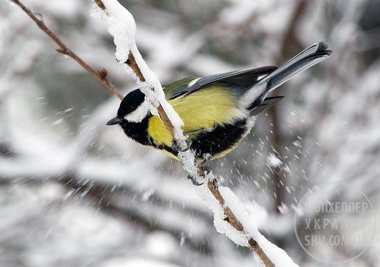 snowtit5531.jpg
