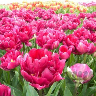 tulip-royal-acres-2_2.jpg