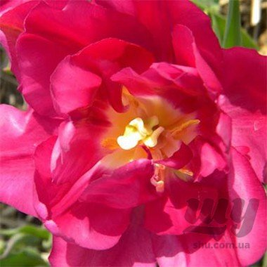 tulip-royal-acres-3_2.jpg