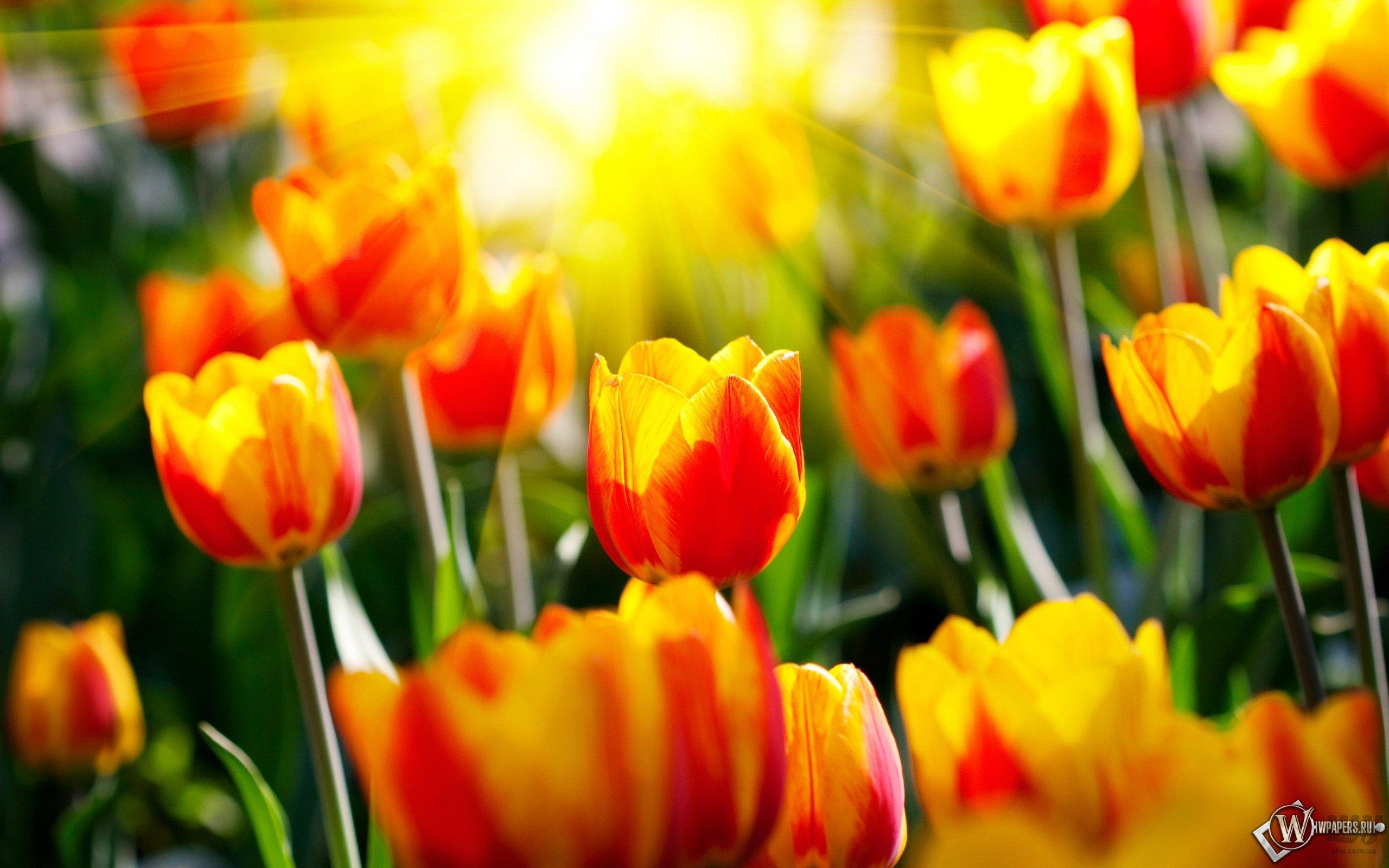 wpapers_ru_Весенние-тюльпаны.jpg